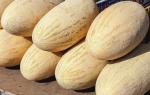 Дыня колхозница: описание сорта, фото, выращивание, отзывы