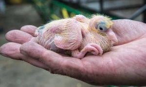 Чем кормить птенца голубя: рацион, правила, что запрещено давать?