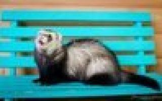 Виды и окрасы хорьков: описания пород с фото