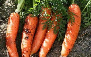 Как хранить морковь в земле, в погребе, на балконе, в холодильнике, в гараже?