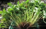 Клубника альбион: характеристики сорта, фото, отзывы, посадка, уход, размножение