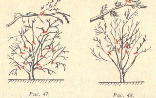 Обрезка вишни осенью: правила, техники и пошаговое руководство