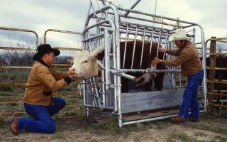 Искусственное осеменение коров: методы, техники и полезные советы