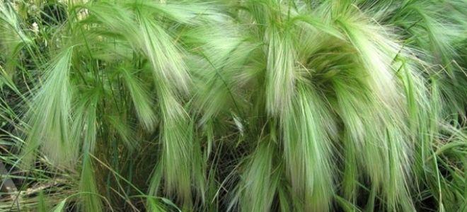 Ячмень гривастый: описание и тонкости выращивания