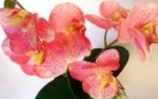 Перец золотое чудо: описание сорта, фото, выращивание и отзывы