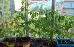 Томат балконное чудо: описание и характеристики с фото, выращивание, плюсы и минусы, отзывы