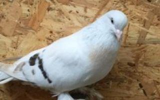 Турецкие бойные голуби — такла: описание, фото, уход и содержание