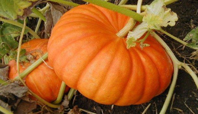 Тыква крупноплодная: особенности, сорта, фото, выращивание и уход