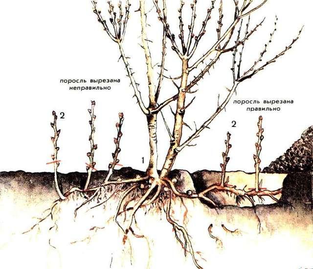 Размножение облепихи: способы, рекомендации, ошибки