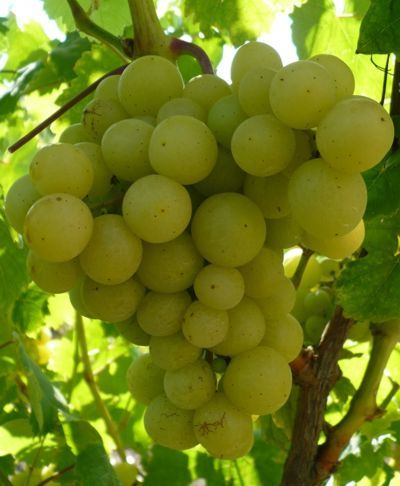 Мускатные сорта винограда с описанием и фото: достоинства, недостатки и сравнительная характеристика