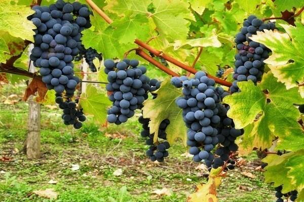 Уход за виноградом весной: подробные инструкции по агротехнике