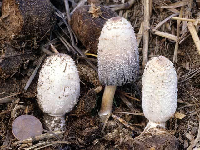 Гриб навозник: описание, разновидности, съедобен или нет, где растет, выращивание