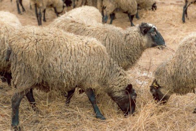 Овцы романовской породы: описание, уход, продуктивность, кормление и размножение