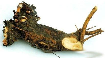 Ревень: польза и вред для организма, его состав и применение