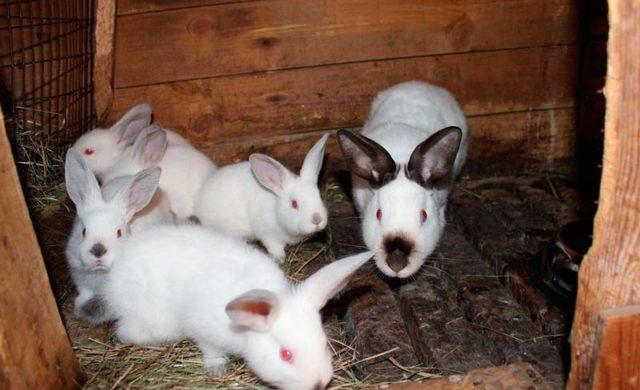 Калифорнийский кролик: описание породы, фото, содержание, уход и отзывы