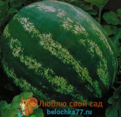Арбуз Романза: описание сорта, фото, выращивание и уход, отзывы