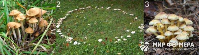 Грибы опята: как выглядят, где растут, с кем можно спутать, как выращивать?