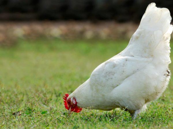 Порода кур Русская белая: описание, фото, уход и содержание, отзывы