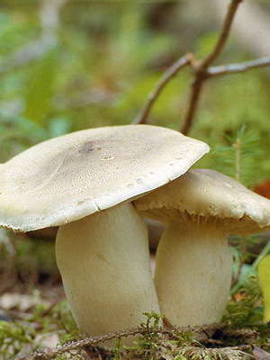 Гриб синяя ножка (синеножка, рядовка лиловоногая): описание, выращивание и приготовление