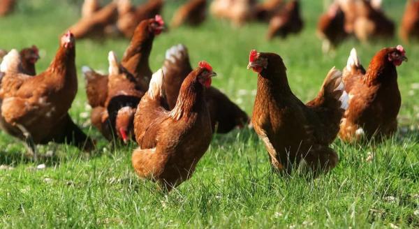 Куры Иза Браун: характеристика породы, продуктивность, выращивание и уход