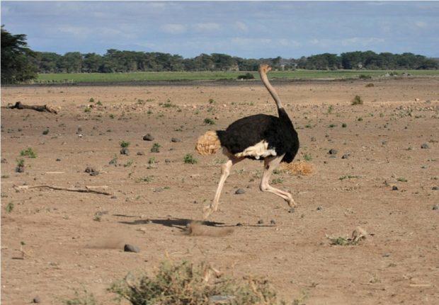 Нанду (американский страус): описание с фото, образ жизни, продуктивность, разведение и выращивание