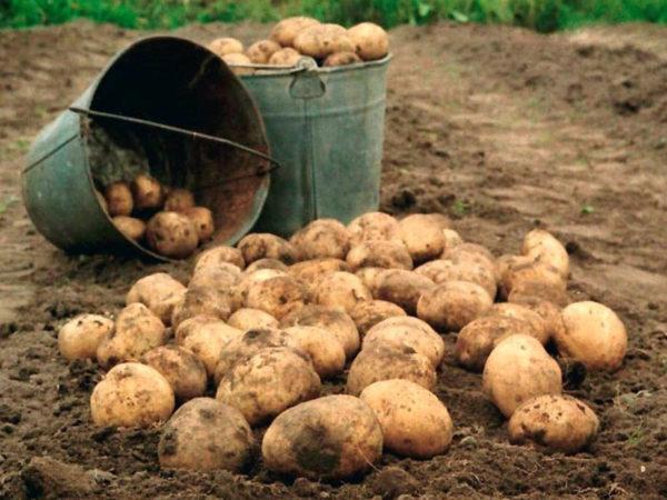 Картофель Лорх: описание сорта, правила посадки и выращивания, отзывы