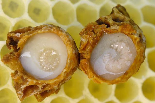 Как добывают маточное молочко у пчел: традиционные и новые способы сбора, правила хранения