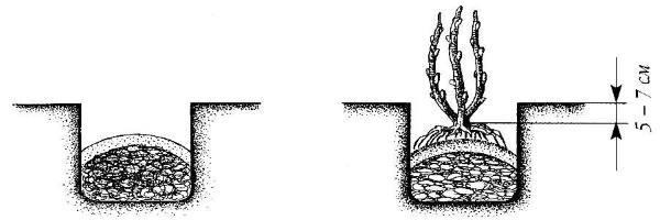 Жимолость Лебёдушка: описание, фото, плюсы и минусы, посадка, уход и отзывы о сорте