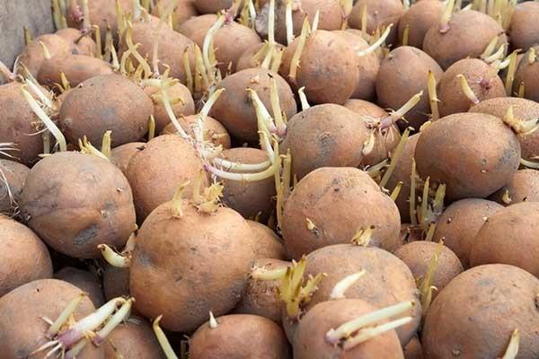 Посадка и выращивание картофеля под соломой, сеном