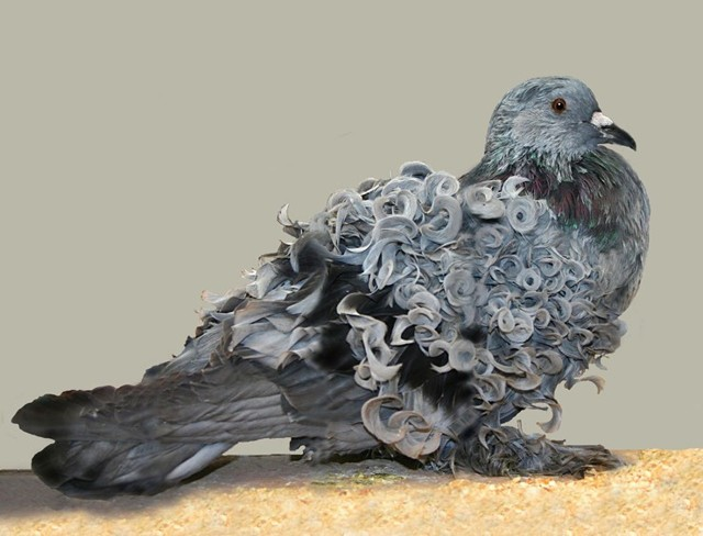 Самые красивые голуби: обзор 20 лучших пород, их описание и характеристики