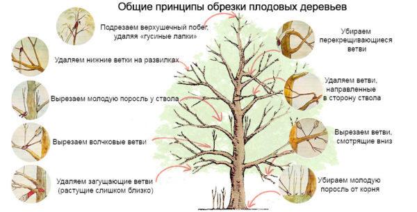 Обрезка яблони весной: сроки, схемы и пошаговые инструкции