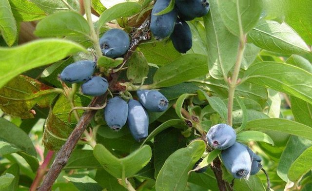 Жимолость Морена: описание сорта, фото, плюсы и минусы, отзывы, выращивание