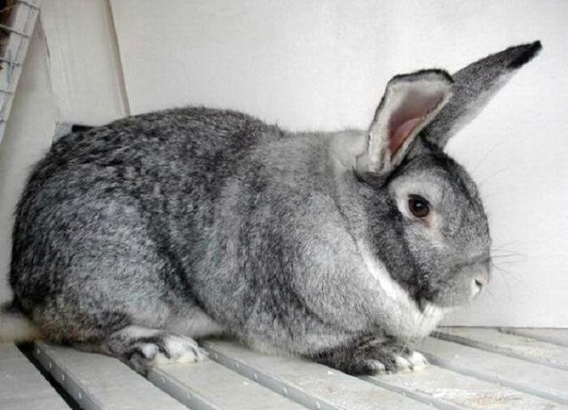 Кролик Советская шиншилла: описание породы, фото, отзывы, содержание и разведение