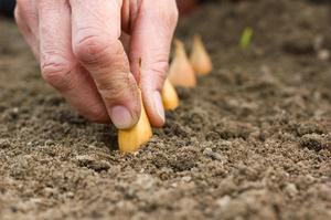 Лук репчатый: посадка и уход, сбор и хранение урожая