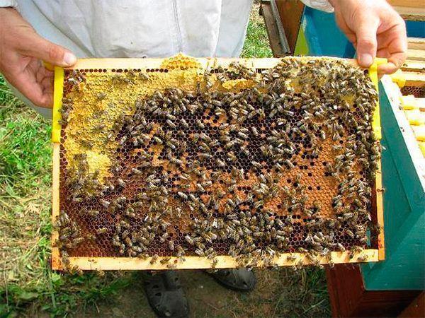 Породы пчёл: описание, характеристика, достоинства и недостатки