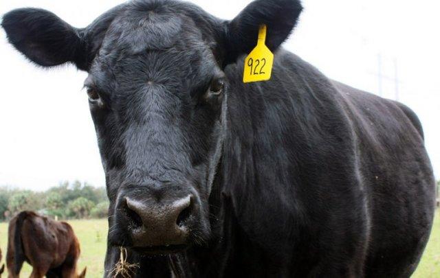 Абердин-ангусская порода коров: характеристика, продуктивность, содержание, разведение