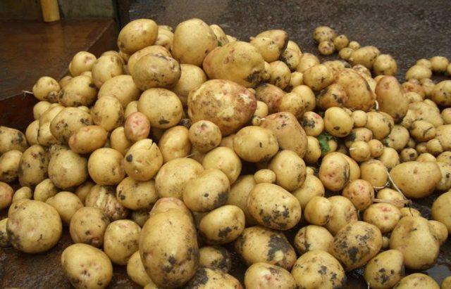 Как правильно хранить картофель в погребе, квартире, подвале, яме, холодильнике