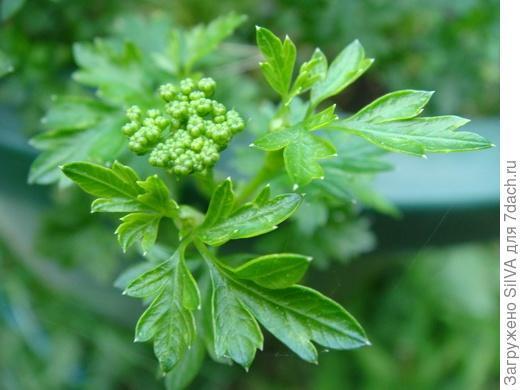 Петрушка Богатырь, описание сорта, фото, правила посева и выращивания, отзывы