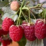 Малина Херитейдж: описание сорта, фото, посадка и уход, отзывы садоводов