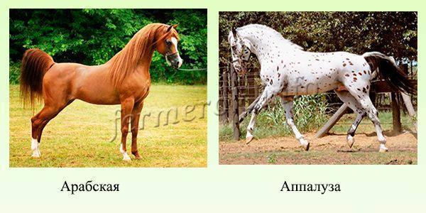 Верховые породы лошадей: описание с фото, показатели, достоинства, недостатки