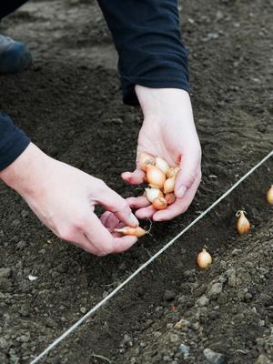 Лук-севок: посадка и уход, сбор и хранение урожая