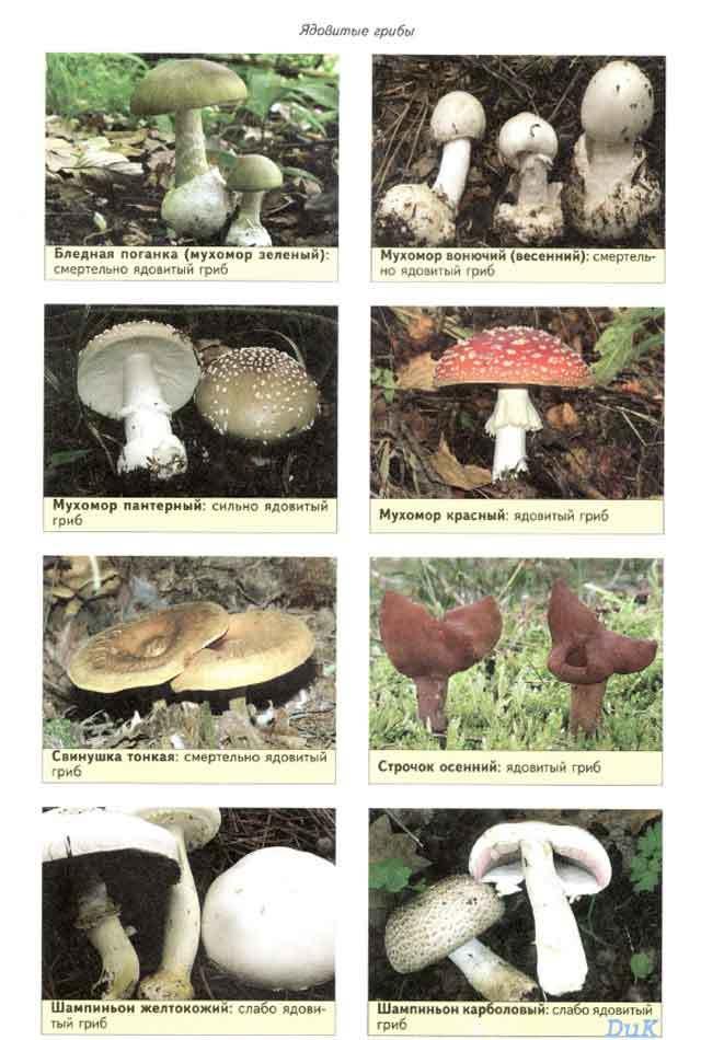 Съедобные и ядовитые грибы картинки и названия