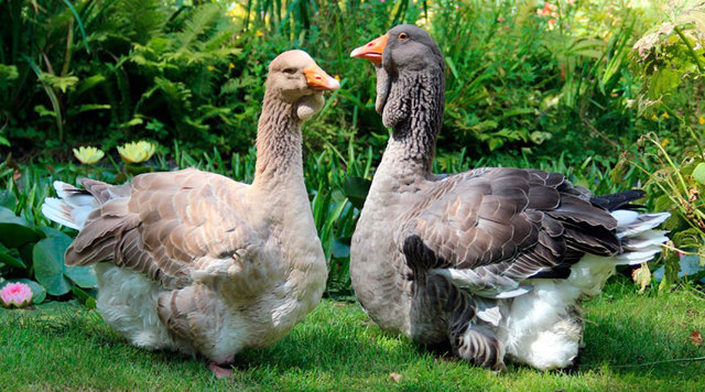 Тулузские гуси: описание породы, фото, условия содержания и разведения, отзывы