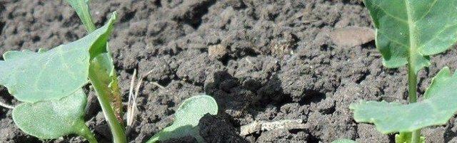 Пикировка капусты: способы, сроки, последующий уход