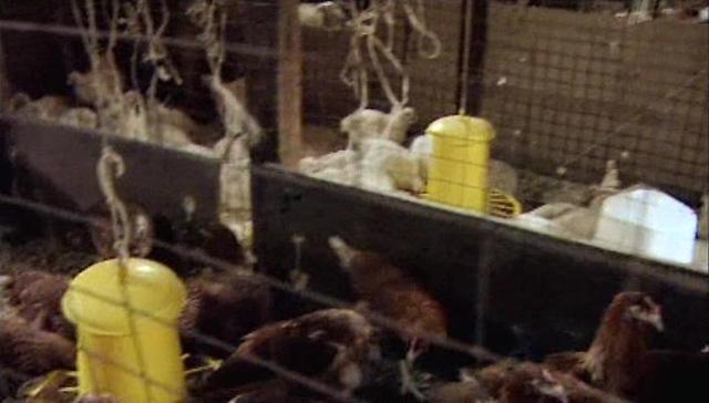 Как отличить цыпленка бройлера от простых птенцов других пород?