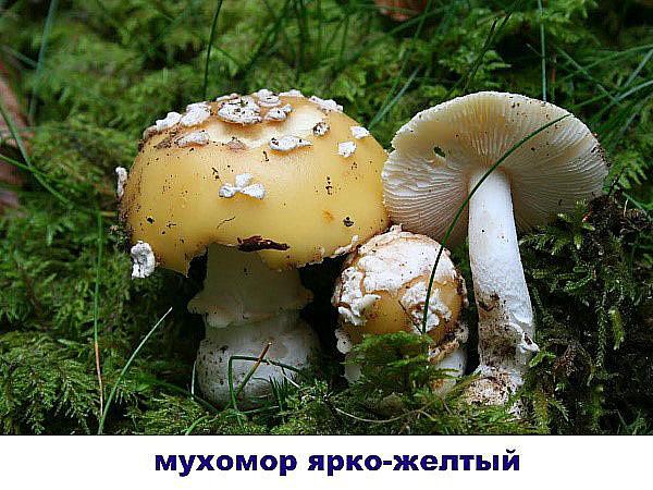 Грибы Воронежской области: съедобные и ядовитые. Фото, описание, грибные мета