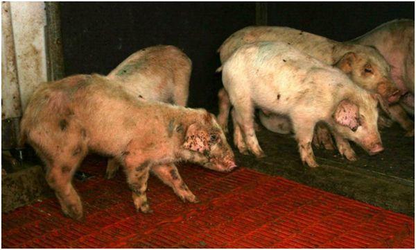 Пастереллез у свиней: возбудитель, симптомы, лечение, вакцинация