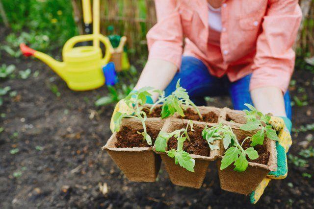 Как пикировать рассаду помидоров правильно: пошаговая инструкция
