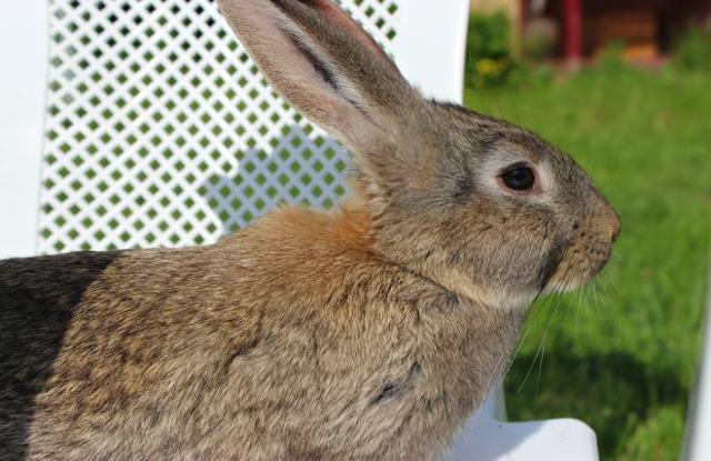 Кролик Серый великан: описание породы, фото, уход и разведение, отзывы