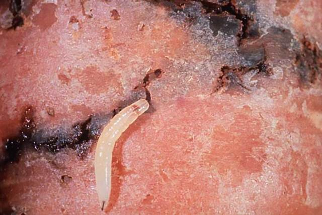 Болезни и вредители сельдерея: симптомы, лечение и профилактика